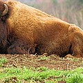 Bison At Rest by Adam Jewell