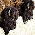 Bison Bison by Joseph Rossi