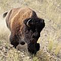 Bison Bull by D Robert Franz