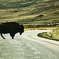 Bison Crossing Highway by Marilyn Hunt