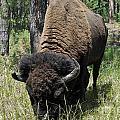 Bison by Doug Heavlow