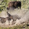Bison Dust Bath by Paul Cannon