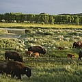 Bison Graze On Grasslands In The Park by Michael Melford