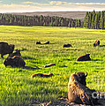 Bison Herd In Yellowstone by Gregory Dyer