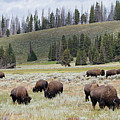 Bison Herd by Nathan Blaney