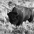 Bison In Black And White by Sebastian Musial