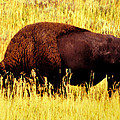 Bison In Field by David Lee Thompson