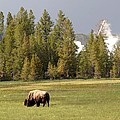 Bison In Yellowstone by Living Color Photography Lorraine Lynch