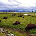 Bison-land by Madeline Schneider