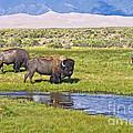 Bison On Big Spring Creek by Scotts Scapes
