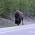 Bison On Road by Shawn Naranjo