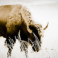 Bison Winter by Paul Roach