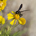 Bitterweed And Black Wasp by Kathy Clark