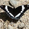 Black Admiral by Don Downer