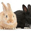 Black And Sandy Rabbits by Mark Taylor