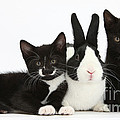 Black And Tuxedo Kittens With Dutch by Mark Taylor