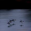 Black And White - Merganser Fliers by Travis Truelove