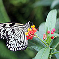 Black And White Butterfly  by Abiy Azene
