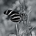 Black And White Butterfly by Carol  Bradley