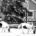 Black And White Clydesdale Grazing by Kimberly Perry