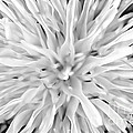 Black And White Dandelion by Rachel Duchesne