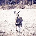 Black And White Deer by Cheryl Baxter