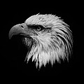 Black And White Eagle by Steve McKinzie
