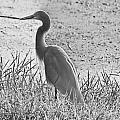 Black And White Egret  by Douglas Barnard