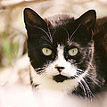 Black And White Feral Cat by Chriss Pagani