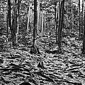 Black And White Forest by Phil Perkins