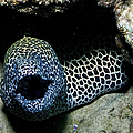 Black And White Honeycomb Moray Eel by Mathieu Meur