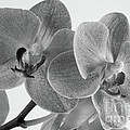 Black And White Orchid by Dariusz Gudowicz