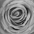 Black And White Spiral Rose Petals by James BO Insogna