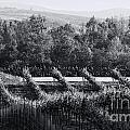 Black And White Vineyard Sunrise  by Sherry  Curry