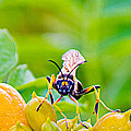 Black And Yellow Mud Dauber by Barry Jones