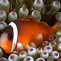 Black Anemonefish, Fiji by Todd Winner