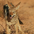 Black-backed Jackal by Bruce J Robinson