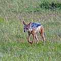 Black Backed Jackal by Tony Murtagh