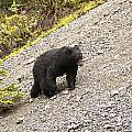 Black Bear 1893 by Larry Roberson