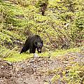 Black Bear 1899 by Larry Roberson