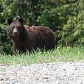 Black Bear by Carol Ailles