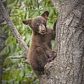Black Bear Cub Hanging On by Randall Nyhof