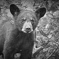Black Bear Cub In A Pine Tree by Randall Nyhof