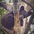 Black Bear Cub No 3224 by Randall Nyhof