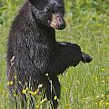 Black Bear by Dale J Martin