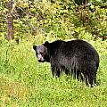 Black Bear by Donna Caplinger