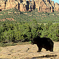 Black Bear In Utah by Larry Allan