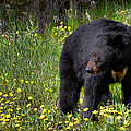 Black Bear by James Anderson