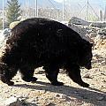 Black Bear by Kim Galluzzo Wozniak