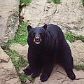Black Bear by Lee Hartsell